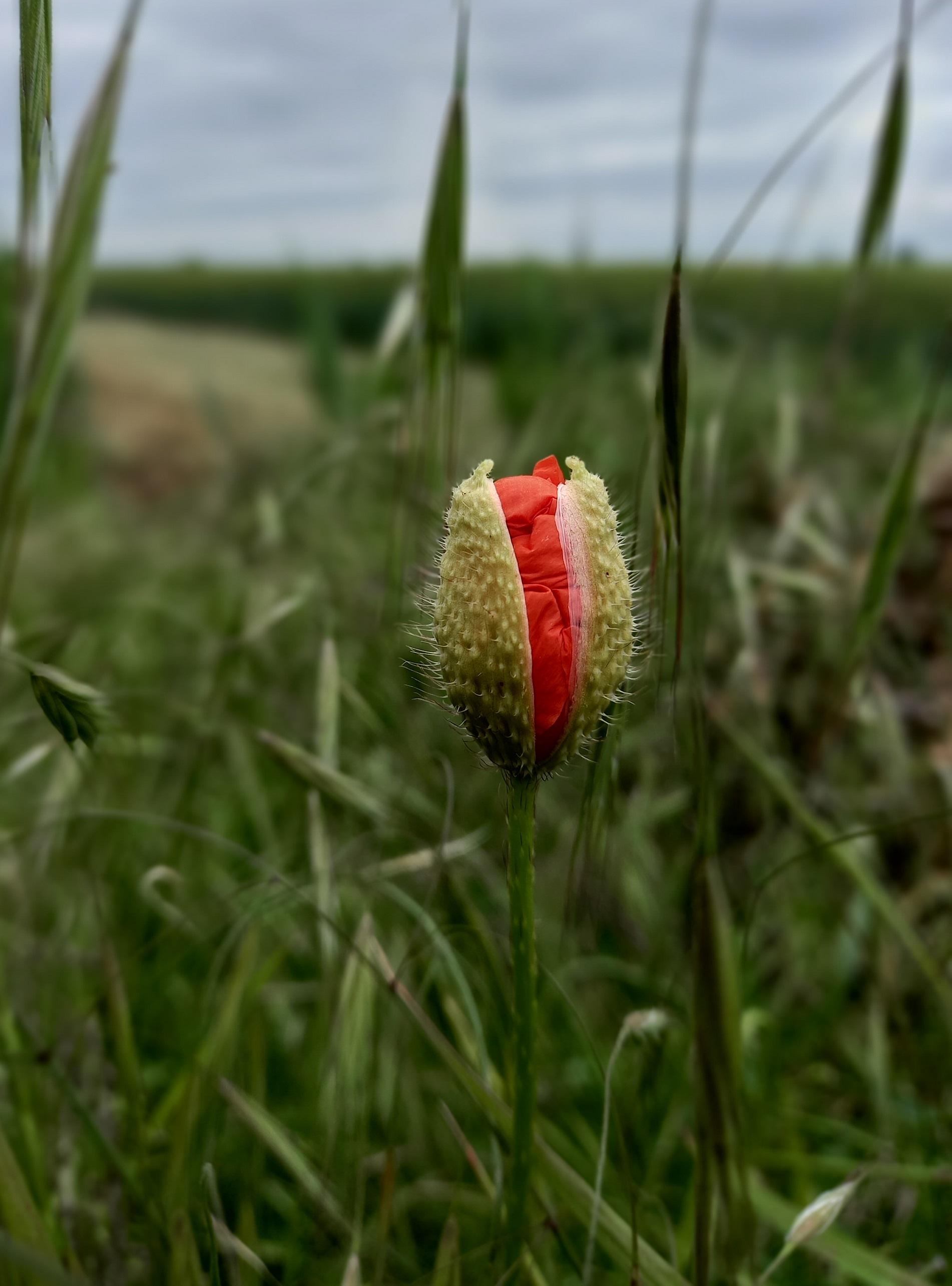 Budding poppy (photo by Andrea Hajek)